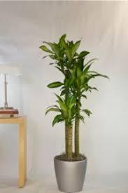 tall office plants. houstonu0027s online indoor plant u0026 pot store tall large floor plants office