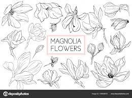 магнолия цветы рисование и эскиз с линии арт на белом фоне