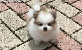 teacup pomeranian puppies for sale 250. Perfect Sale Tiny Teacup Pomeranian Puppies For Sale Inside Teacup Pomeranian Puppies For Sale 250 O