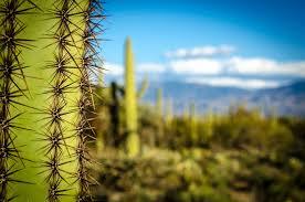 cactus in a canyon cal card in arizona