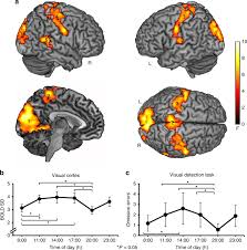 Cortex Lighting Endogenous Modulation Of Human Visual Cortex Activity