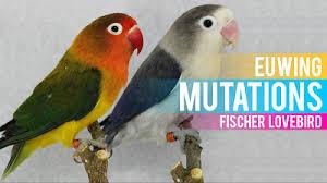 Euwing Mutations Fischer Lovebird Lovebird Breeding Tips