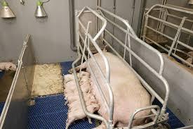 Afbeeldingsresultaat voor varkensstal