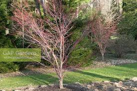 acer palmatum sango kaku underplanted with carex appalachica in the ruin garden chanticleer