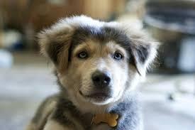 german shepherd golden retriever husky mix. Fine Golden Goberian Husky Golden Retriever Mix Dog With German Shepherd D