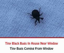 tiny black bugs in house near window