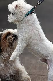 maltese dog. maltese dog behavior