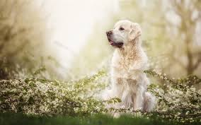 Download wallpapers Golden Retriever Dog, forest, labradors, dogs, spring, pets, cute dogs, Golden Retriever for desktop free. Pictures for desktop free