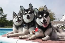 alaskan klee kai size alaskan klee kai small dog breeds dbcentral