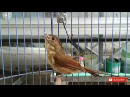 Perbedaan edel sanger jantan dan betina. Burung Flamboyan Gacor By Kicau Monster