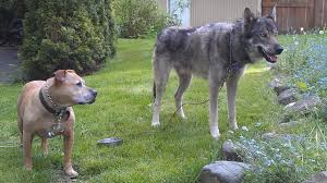 pitbull dog vs wolf. Modren Pitbull Pitbull Terrier Vs Wolf  Who Would Win  Hypothetical Battle With Dog Vs S