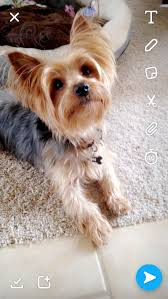 yorkie haircuts with floppy ears
