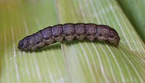 Black Cutworm Scouting 2015 Integrated Crop Management