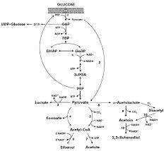 Simplified Representation Of Glycolysis And Lactate