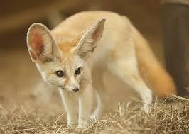nocturnal desert animals. Unique Desert Fennec Fox List Of Animals Animal List Desert Plants  Nocturnal Throughout Animals U
