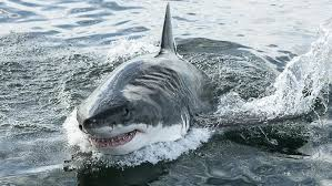 shark attack on humans. Interesting Humans The Forces Against Action Sharks Are Deeply Entrenched In All Our  Major Organisations On Shark Attack Humans