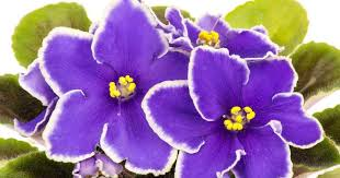 african violet white edge