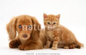 british shorthair red tabby kitten