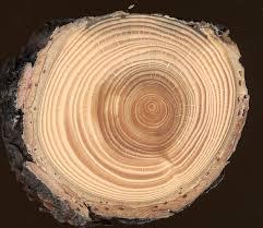 ... 40x magnification Tree rings in a stem disk of European Larch (Larix  decidua Mill.