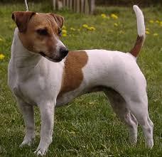 <b>Джек</b>-<b>рассел</b>-<b>терьер</b>: фото собаки, цена, описание породы ...