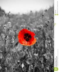 Znalezione obrazy dla zapytania poppies black and white photos