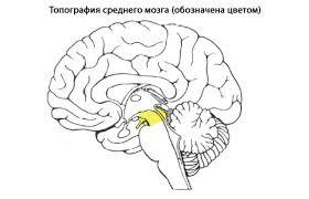 Средний мозг человека Анатомия Среднего мозга строение функции  С появлением
