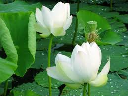 Kết quả hình ảnh cho hoa sen trắng đẹp nhất