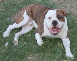 Olde English Bulldog Weight Chart Olde English Bulldogge Learn About This Loving Breed Of Dog