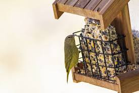 a yellow warbler feeds from a suet cake in a feeder
