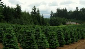 File:Christmas trees near Redland Oregon.jpg