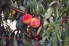 Olive Trees For Sale  Buy Olive Trees For Sale  Fast Growing TreesFruit Tree Nursery North Carolina