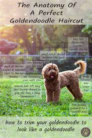 Standard Goldendoodle Size Chart The Perfect Goldendoodle Haircut Every Doodle Owner Needs