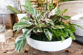 Humidity: is your furnace or ac cranking? calatheas are tropical high  humidity plants that