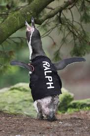 featherless penguin. Exellent Penguin An International Surf Firm Has Come To The Rescue Of A Featherless Penguin  Who Suffers Sunburn To Featherless Penguin N