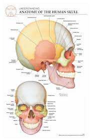 Body Scientific International Post It Anatomy Of Skull Chart Teaching Supplies Classroom Safety