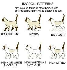 Ragdoll Patterns Ragdoll Cat Colors Cats Ragdoll Cat Breed