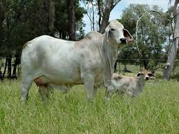 Image result for brahman cows