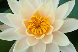 Lotus Flower Color Chart Lotus Flower Meaning Flower Meaning