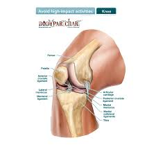 Knee Ligaments Labeled Body Part Chart Removable Wall Graphic