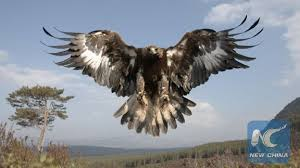 golden eagles flying. Perfect Golden Photo Shows A Flying Golden Eagle In Scotland Photo Courtesy Of The Royal  Protection For Society Birds Scotland For Eagles Flying I