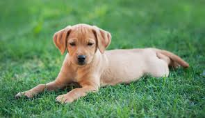american yellow lab puppies. Simple American Puppy Dog Laying On The Grass And American Yellow Lab Puppies L
