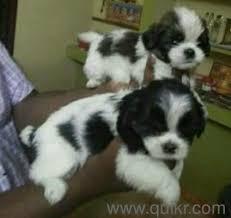 yzu puppy needs adoption in ashok nagar hyderabad adopt pets on hyderabad quikr clifieds