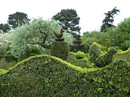 all the boxwood in the garden and there are many varieties was also grown