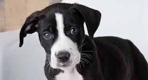 Pitbull Lab Mix Have You Discovered The Bullador