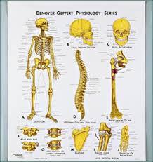Skeletal System Anatomy Chart 3