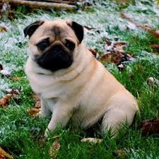 Learn About The <b>Pug Dog</b> Breed From A Trusted Veterinarian