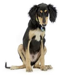 saluki dog. black and tan saluki image dog