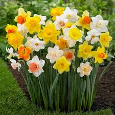 narcissus cyclamineus long lasting mix