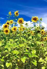 knoxville farm and garden best sunflower fields top sunflower fields mazes in the us