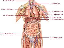 Anatomy Human Body Organs Male Human Organ Diagram Body